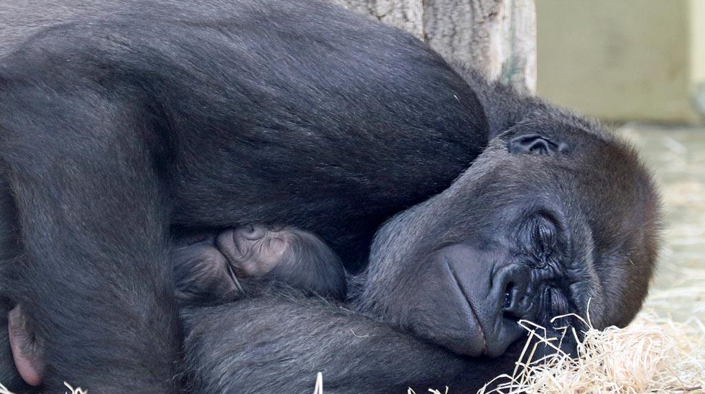 Berliner Zoo: Bibi kümmert sich sanft um ihr Baby