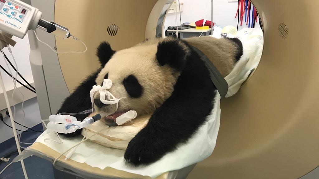 Berliner Zoo: Panda Pit macht den Medizinern Sorgen