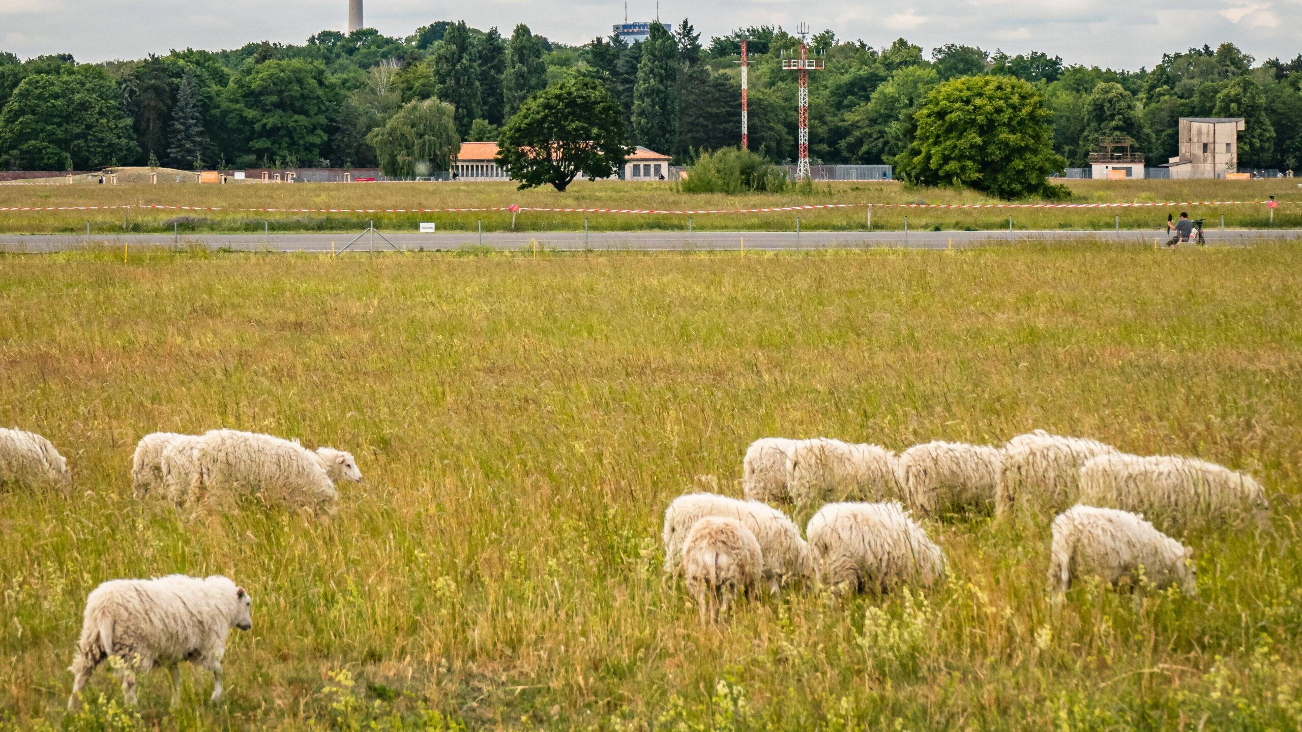 Skuddenschafe weiden wieder am Tempelhofer Feld