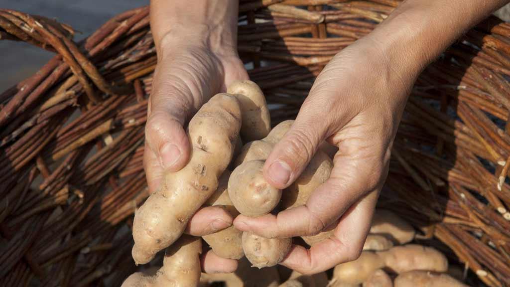 Berlin-Malchow: Saatkartoffeln für Hobby- und Kleingärtner