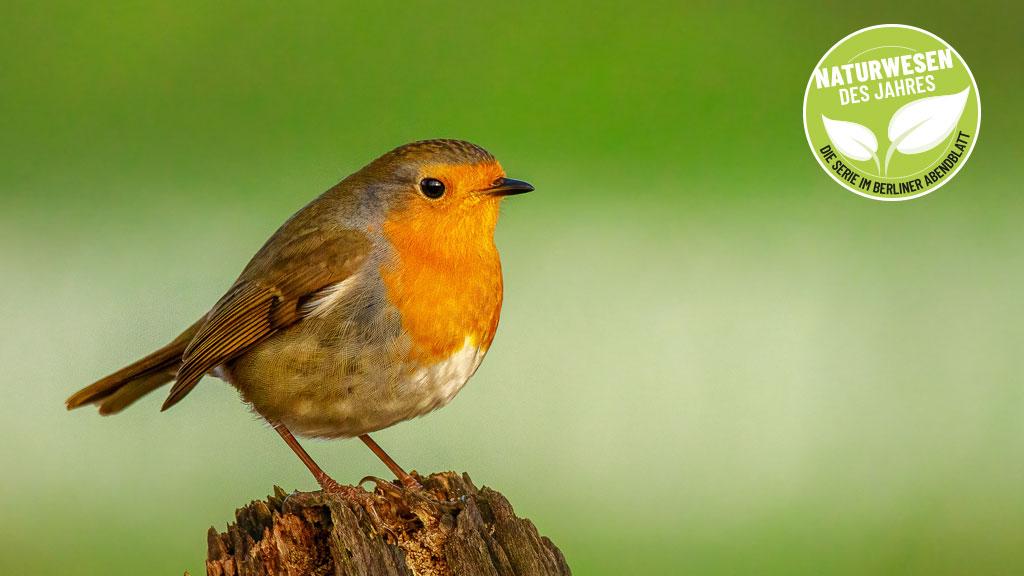 Das Rotkehlchen ist der Vogel des Jahres
