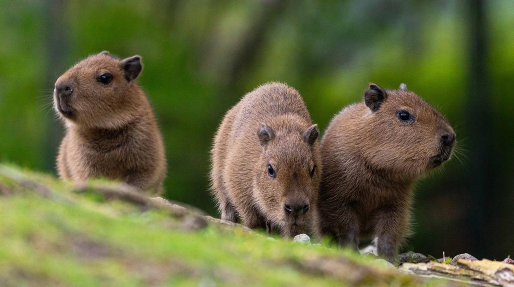 Berliner Zoo: Alle lieben Capybara-Babys