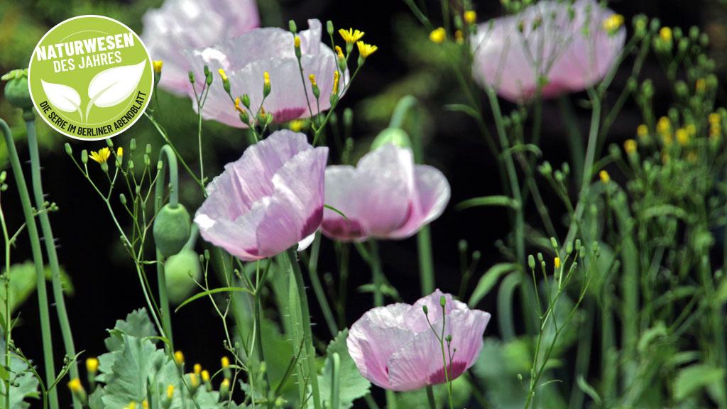 Schlafmohn ist die Giftpflanze des Jahres 2021. Schlafmohn liefert Opium und die Saatkörner werden als Backzutat eingesetzt.