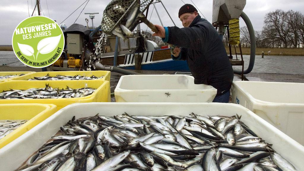 Hering: Schwarmfisch in Gefahr