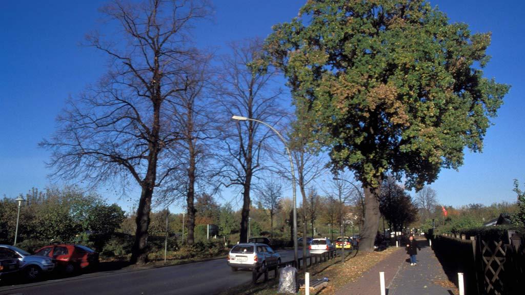 Berlin-Treptow: Bäume am Dammweg dürfen bleiben
