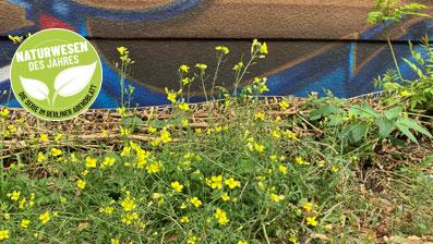 Rucola wächst in Berlin an allen Ecken.